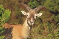 Quando in Sardegna dominava il muflone